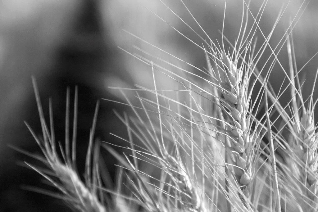 wheat-web
